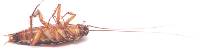 Cockroaches Toronto Swift-X Pest Control