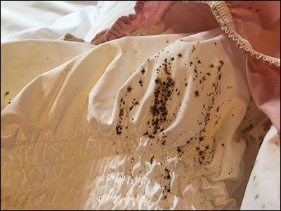 Bed bug stains on fitted sheet
