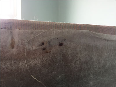 Bed bugs under box spring