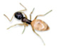 Ghost ant