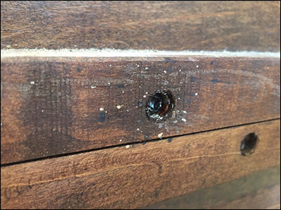 Bed bug nesting in wooden frame